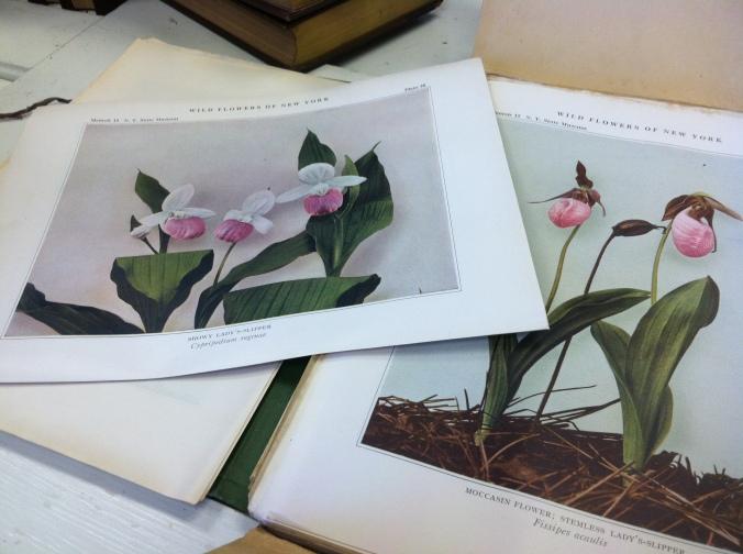 Wildflowers_NY_1921